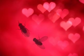 fruit fly courtship